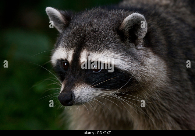 Raccoon in Stanley Park, Vancouver, British Columbia, Canada. - Stock Image