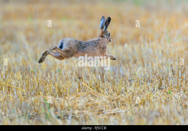 European hare, Brown hare (Lepus europaeus), jumps over a stubble field, Germany, Lower Saxony - Stock Image