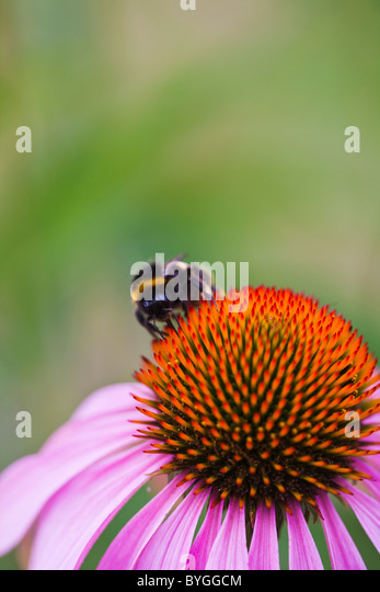 Extreme close up of bumblebee on flowers stem - Stock Image