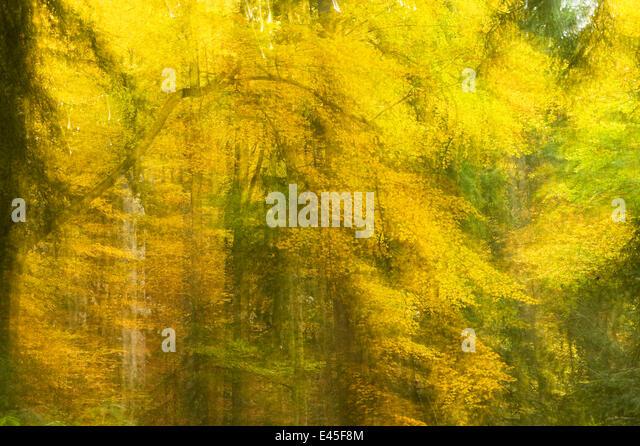 Abstract Autumn in Corkova Uvala, virgin mixed forest of Silver fir (Abies alba) European beech (Fagus sylvatica) - Stock Image