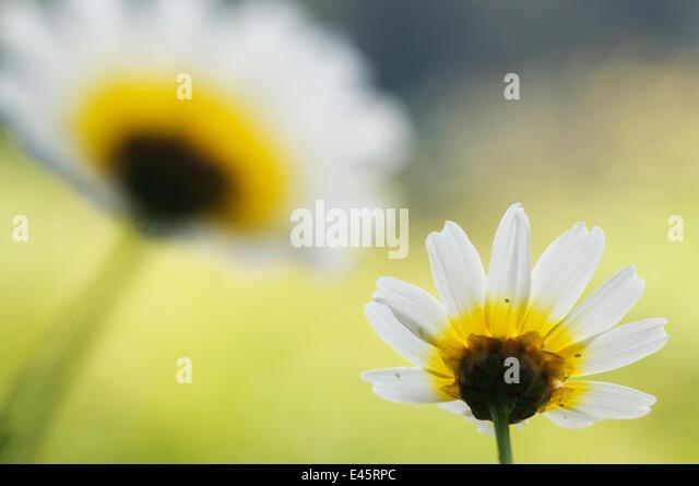 Crown daisy flower (Chrysanthemum coronarium) Menorca, Balearic Islands, Spain, Europe - Stock Image