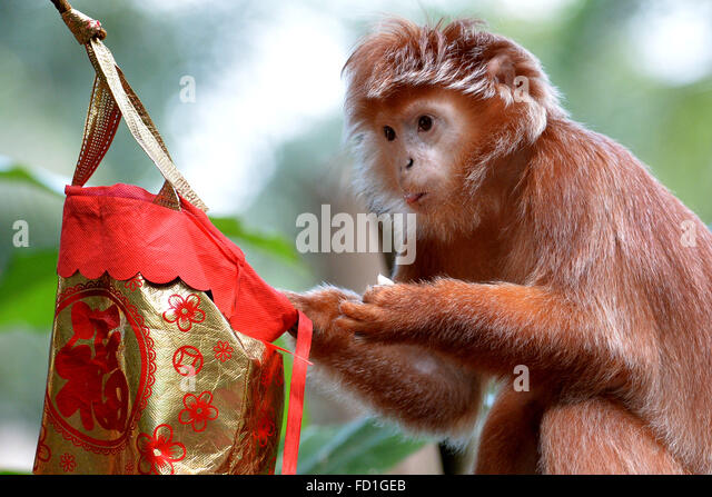 Singapore. 27th Jan, 2016. A Javan langur digs for food from a lucky bag at the Singapore Zoo in Singapore, Jan. - Stock Image