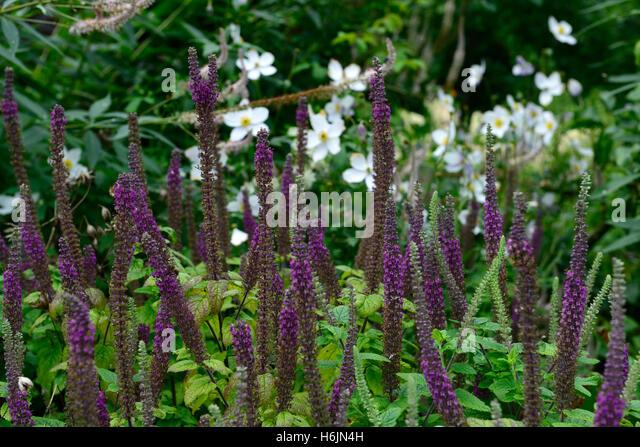Hircanicum stock photos hircanicum stock images alamy for Perennial wood