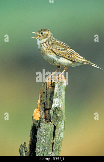 Skylark (Alauda arvensis) singing from old fence post - Stock Image