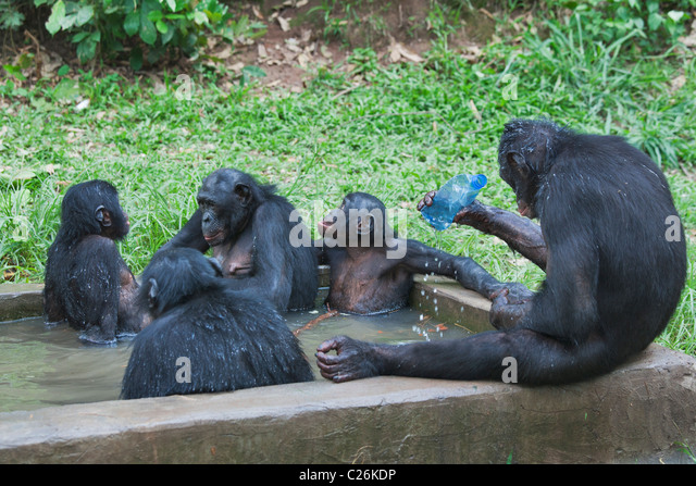 Family group of captive Bonobo chimpanzees frequently enter the water to cool off in the heat of the day. - Stock-Bilder