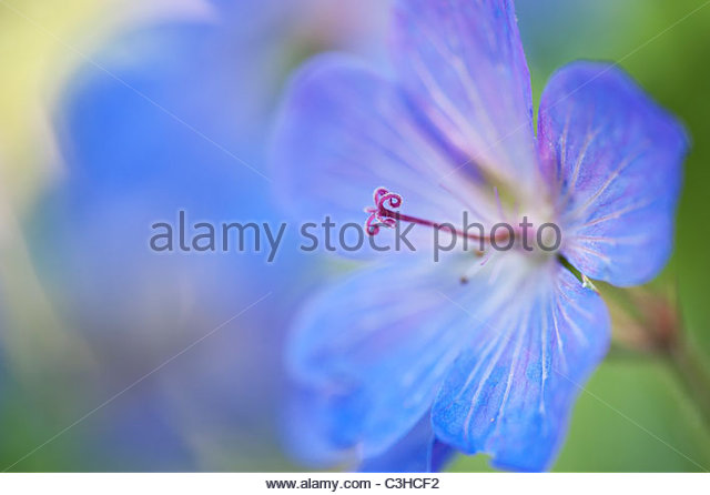 Geranium Johnsons blue flower and bud. Selective focus - Stock Image