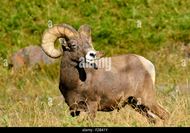 A wild rocky mountain bighorn sheep  Orvis canadensis; standing in the lush vegetation - Stock-Bilder