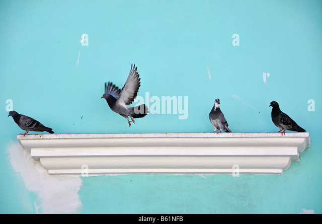 pigeons take flight on an old building in old san juan, puerto rico - Stock Image