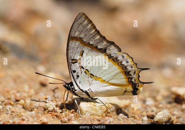 Great Nawab Butterfly (Polyura eudamippus) feeding on mineral salts in a Thai rainforest - Stock Image