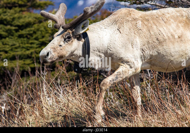 Close-up of Caribou with tracking collar - Gros Morne National Park, Newfoundland, Canada - Stock Image