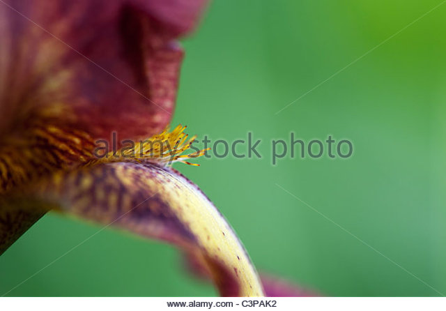 Tall Bearded Iris 'Provencal' flower - Stock Image