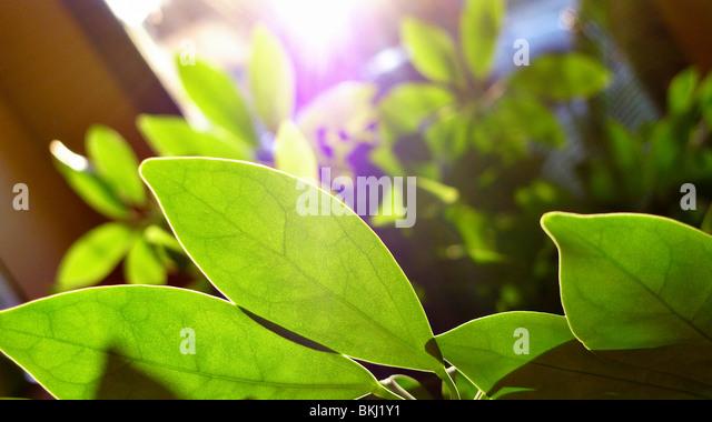 Oxygen stock photos oxygen stock images alamy - Green leafy indoor plants ...