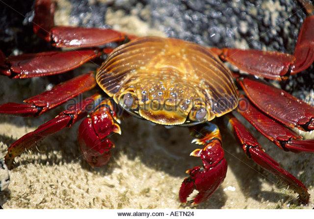 Ecuador Galapagos Islands Floreana Island Flour Beach Sally Lightfoot crab lava rock - Stock Image