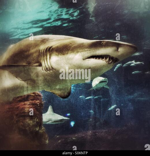 A shark swimming in the Barcelona Aquarium - Stock Image