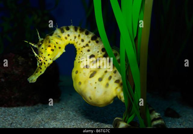 Pot bellied seahorse Hippocampus abdominalis captive - Stock-Bilder