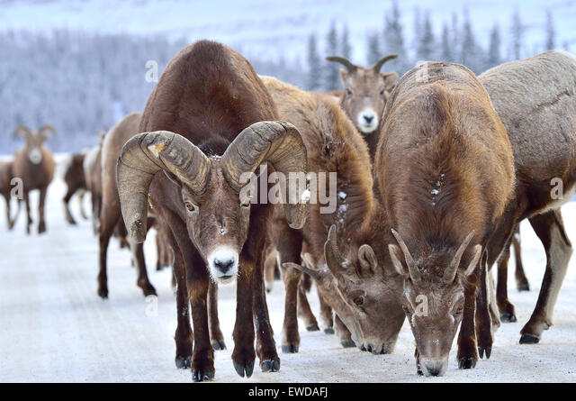 A herd of wild Bighorn Sheep Ovis canadensis; on a rural road in the rocky mountains of Alberta Canada licking salt - Stock-Bilder