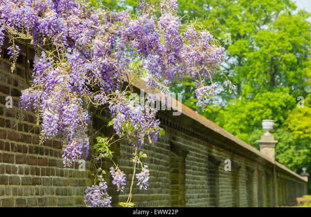Blue Wisteria Stock Photos Amp Blue Wisteria Stock Images