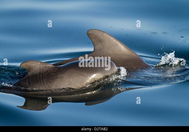 Short-finned pilot whale cow and calf, Isla San Pedro Martir, Gulf of California (Sea of Cortez), Baja California - Stock Image