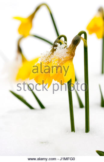 NARCISSUS TETE A TETE IN THE SNOW - Stock Image