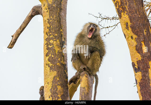 One Adult Wild Olive Baboon Papio anubis, yawning with a wide mouth showing teeth, Ol Pejeta Conservancy, northern - Stock Image