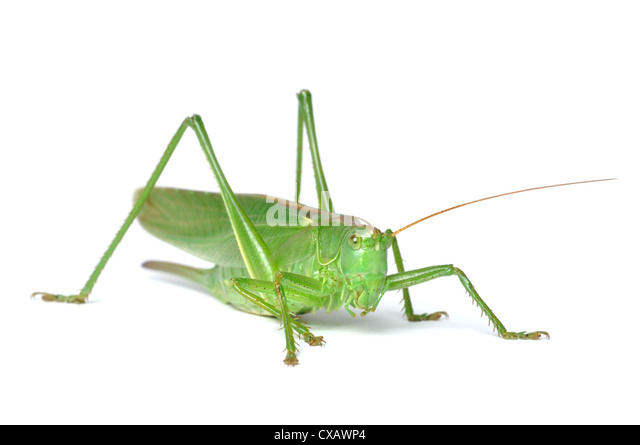 Great Green Bush-Cricket (tettigonia viridissima) isolated on white background - Stock Image