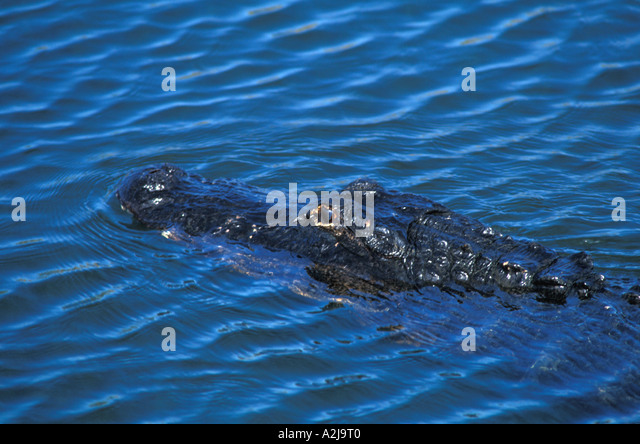Alligator american,  swimming focus on eye - Stock Image