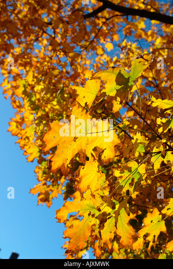 Vibrantly Colored Autumn Leaves - Stock Image