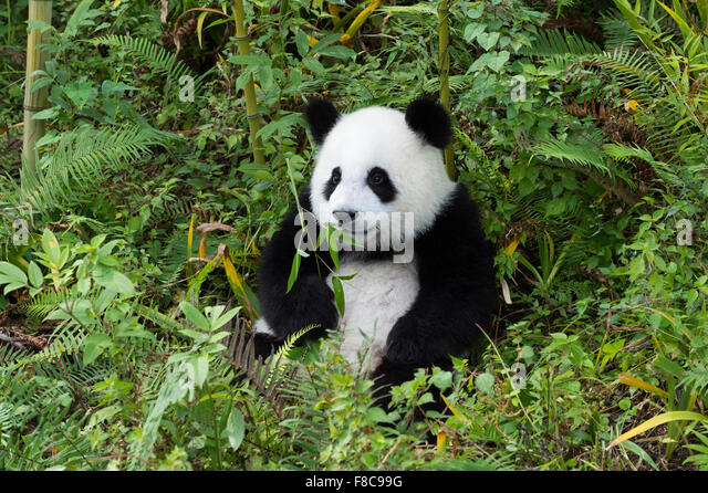 Two years aged young giant Panda (Ailuropoda melanoleuca), China Conservation and Research Centre for the Giant - Stock Image