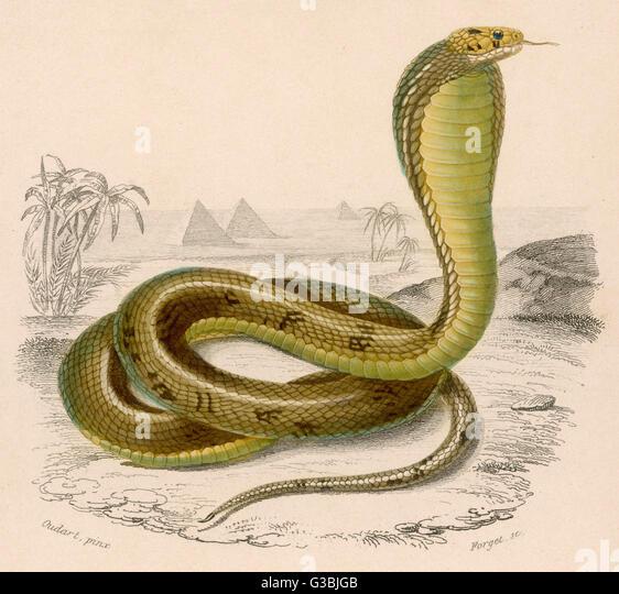 Egyptian or Brown Cobra - Stock Image
