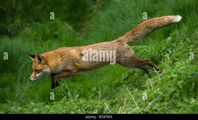 Red fox Vulpes vulpes running - Stock-Bilder
