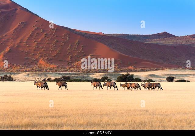Herd of Gemsbok in Sossusvlei, Namibia - Stock Image