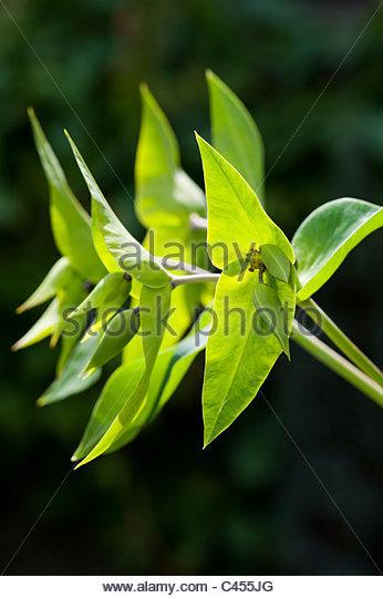 Euphorbia lathyris. Caper Spurge or Paper Spurge - Stock Image