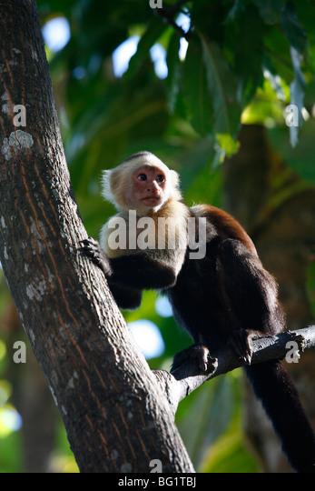White faced Capuchin monkey, Montezuma, Nicoya Peninsula, Costa Rica, Central America - Stock Image