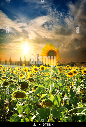 Field of blossoming sunflowers and beautiful sunset - Stock Image