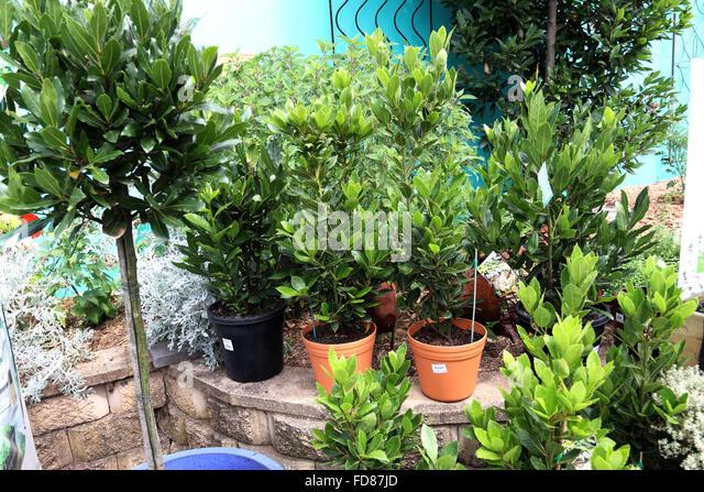 bay tree pot stock photos bay tree pot stock images alamy