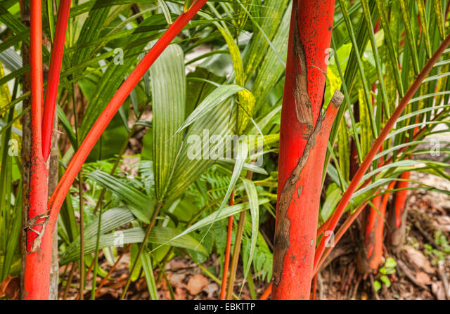 The distinctive red crownshaft of the Sealing Wax Palm,  Cyrtostachis Renda, symbol of Singapore Botanic Gardens. - Stock Image