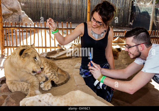 Johannesburg South Africa African Lion Park wildlife conservation woman lion cub man couple smartphone interaction - Stock Image