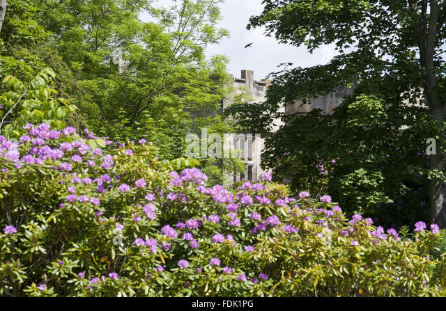 Rhododendrons growing in front of the Hall at Gibside, Newcastle upon Tyne. - Stock-Bilder