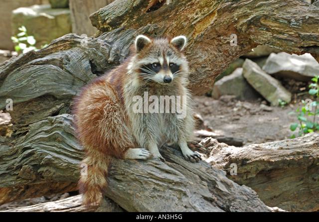 Raccoon. - Stock Image