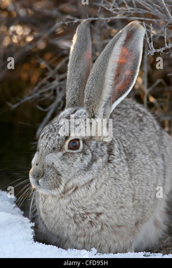 Blacktail Jackrabbit (Lepus californicus) in the snow, Antelope Island State Park, Utah, United States of America, - Stock Image