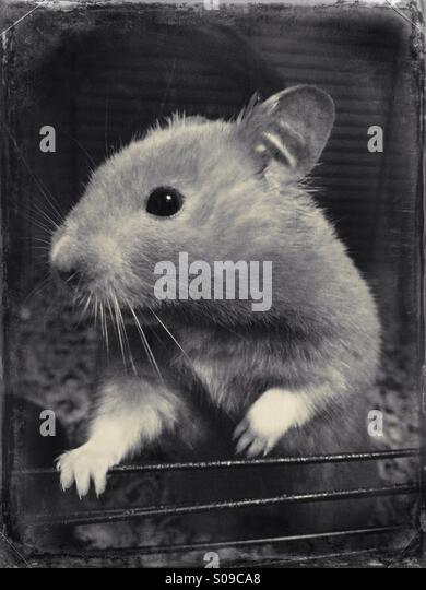 Syrian hamster - Stock Image