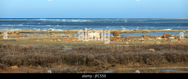 A polar bear on the shore of the Hudson Bay on feed search - Stock Image