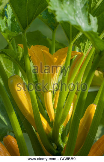 Zucchini Courgette 'Gold Rush' - Stock Image