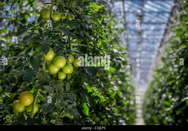 Tomatoes in greenhouse, Iceland Greenhouses are heated with geothermal energy keeping the cost of energy affordable - Stock Image