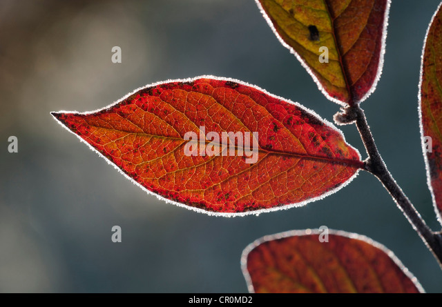 Red Honeysuckle (Lonicera xylosteum), leaf with a light covering of hoarfrost, Untergroeningen, Baden-Wuerttemberg - Stock Image