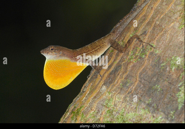 Male Many-scaled Anole (Norops polylepis) displaying in Costa Rica rainforest - Stock-Bilder