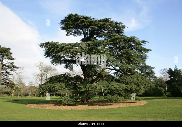 Cedar of Lebanon, Cedrus libani, Pinaceae, Lebanon, Syria and Turkey - Stock Image