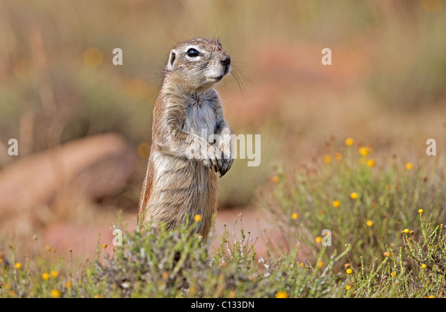 Alert Ground Squirrel, Mountain Zebra National Park, Eastern Cape Province, South Africa - Stock Image