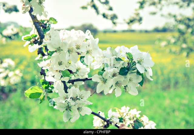 Outdoor shut of a apple garden in may - Stock Image