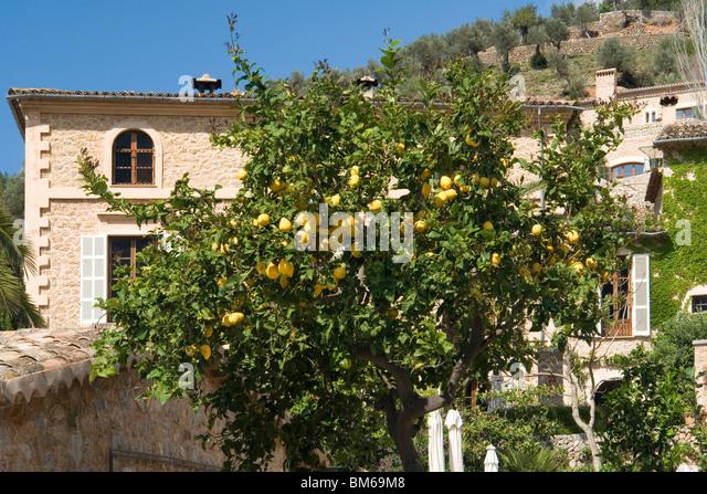 A large impressive house in Deia (Majorca - Spain) with a lemon tree bearing fruit. Maison bourgeoise à Deia - Stock Image